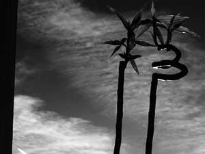 Glücksbambus - 13 - thirteen - Lucky Bamboo